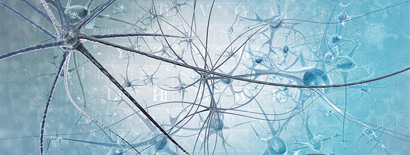 Neurosciences : nous produisons des neurones tout au long de notre vie !